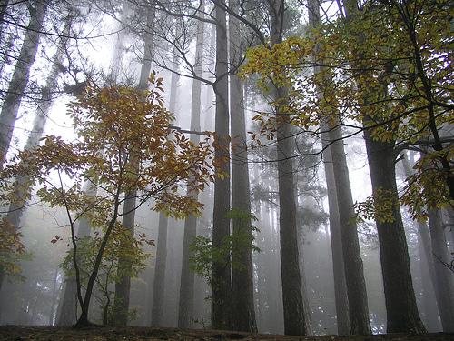 alberi nella nebbia vecchia home